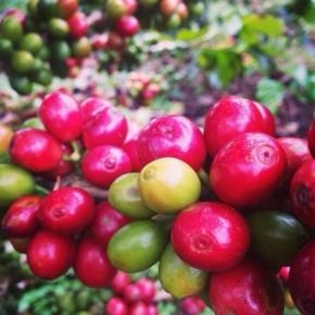 THE COFFEE JOURNEY 2013 ② コーヒー豆をはじめて見た